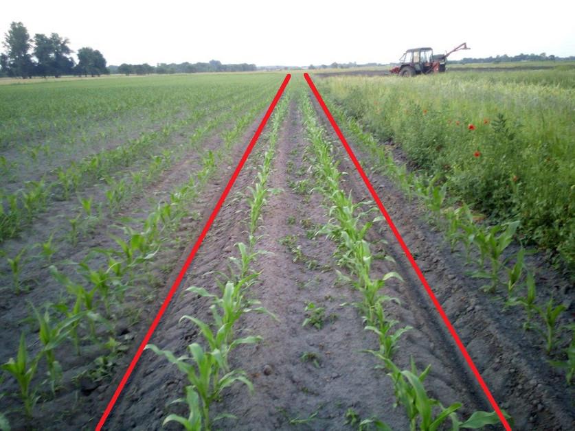 Kukorica állományban történő termikus gyomirtása