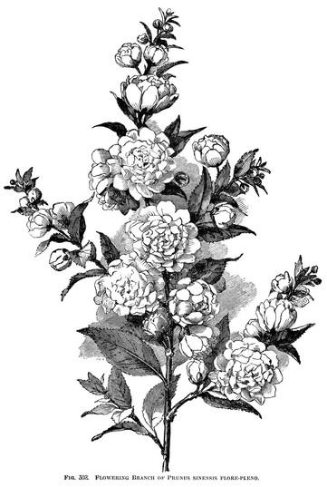 Camellia sinensis - tea