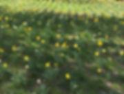 daffodil_web.jpg