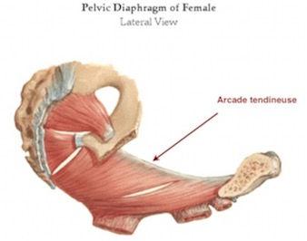 Diaphragme pelvien