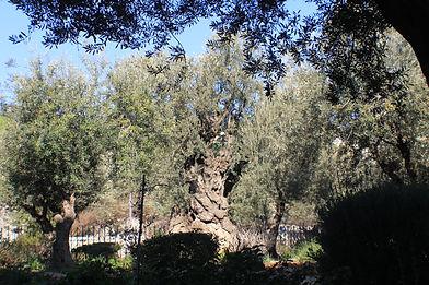 Gesthemene-olive-trees.JPG