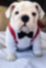 bulldog cutie.jpg