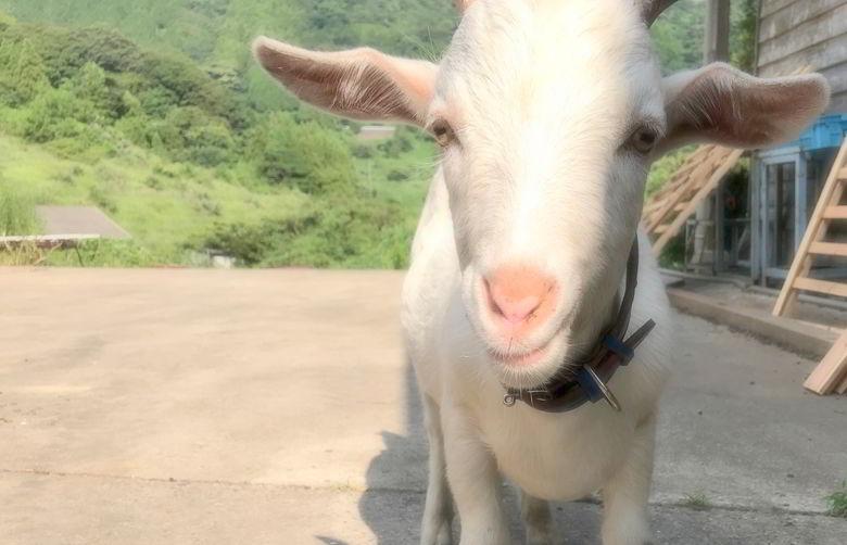 山羊のWOF