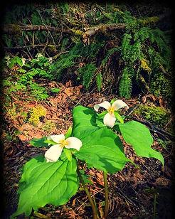 #spring #pnw #trillium