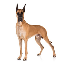 AKC - About the Breed