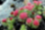 Родиола розовая.png
