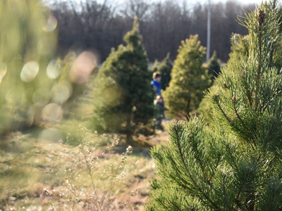 Christmas tree farm near Anderson
