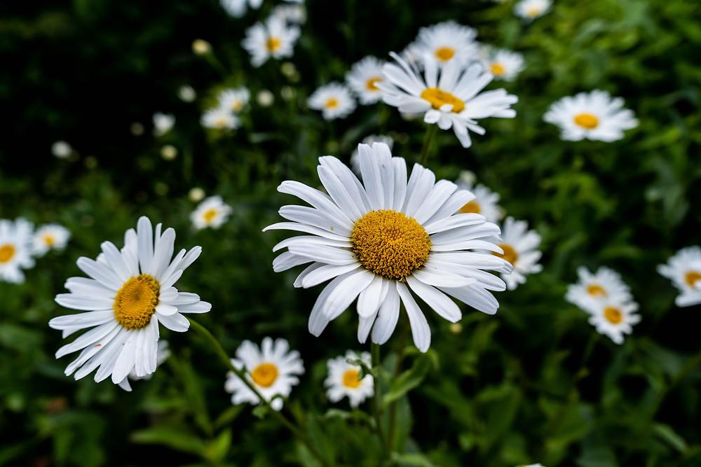 Chamomile Roman flowers