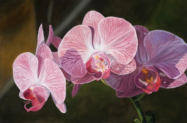 Phalaenopisis Orchid II