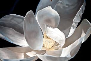 Last Magnolia