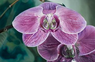 Phalaenopisis Orchis I
