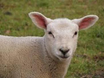 Medium Lamb