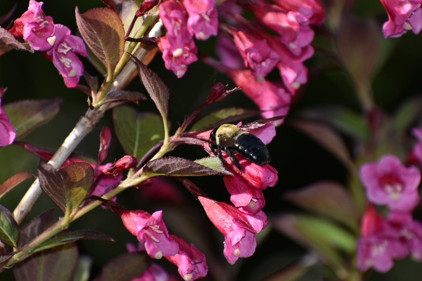 A bumble bee settles on Weigela Florida flowers, London