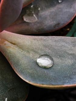 Dew drops on a succulent, Chatham-Kent