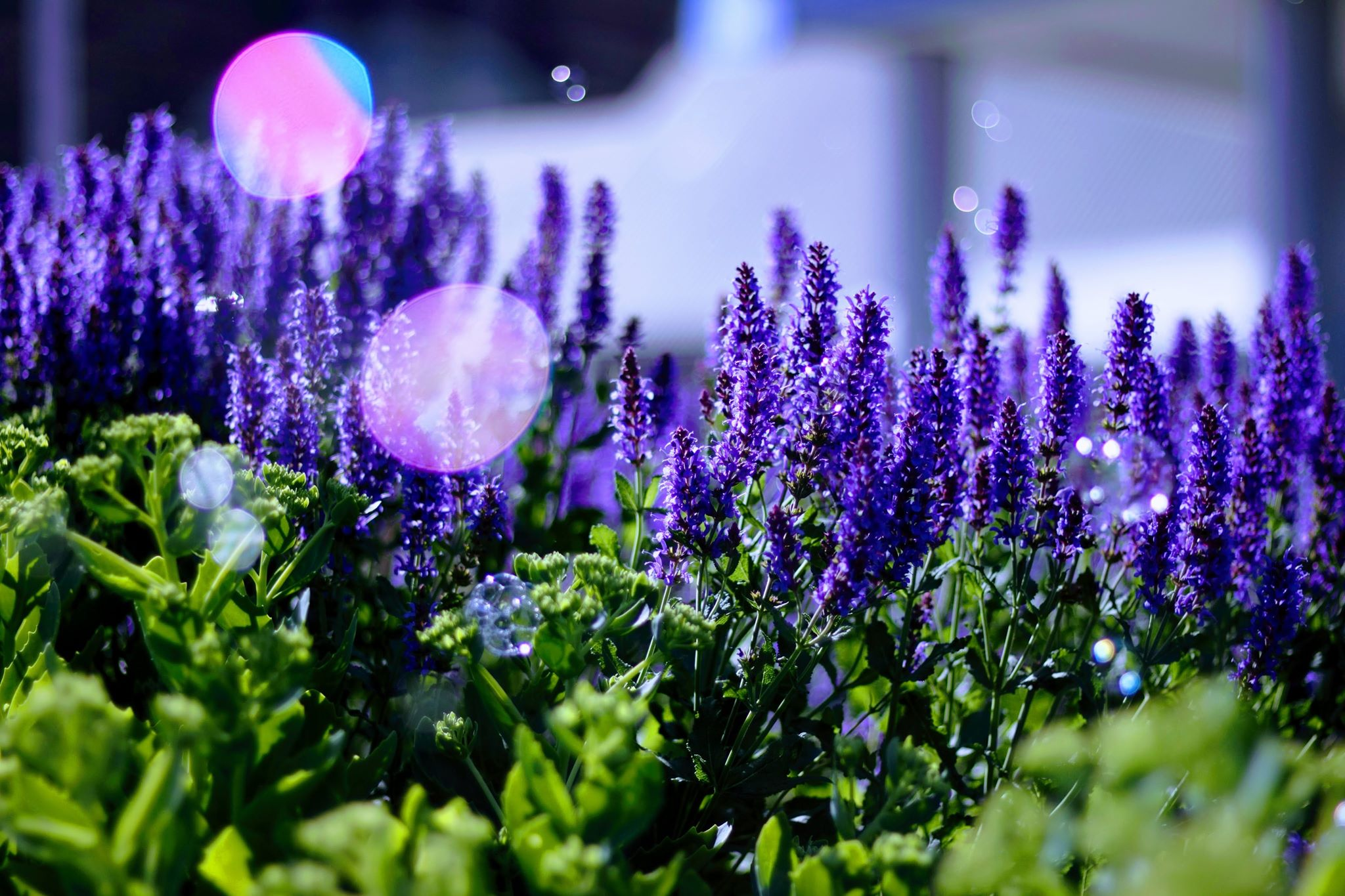 Lavender blooming near the CN Tower, Toronto