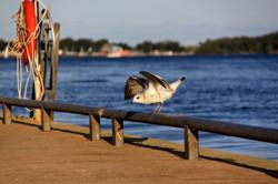 Seagull in Lakeshore