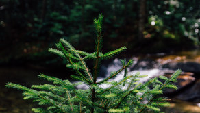 Non-profit tree planting initiatives facing a lean year, thanks to COVID-19