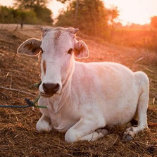 Indian Yellow: A Bovine Story