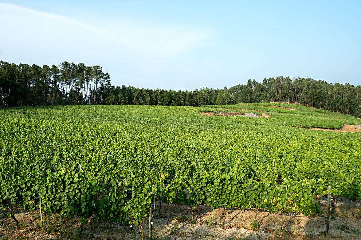 A vinha
