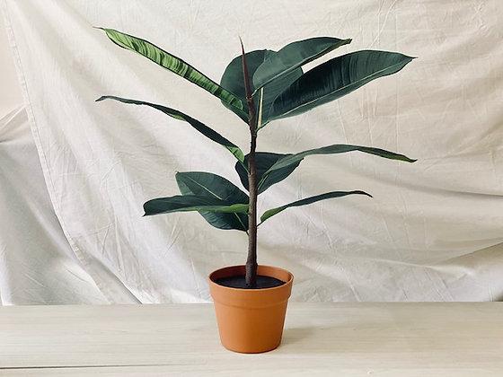Planta Gomero