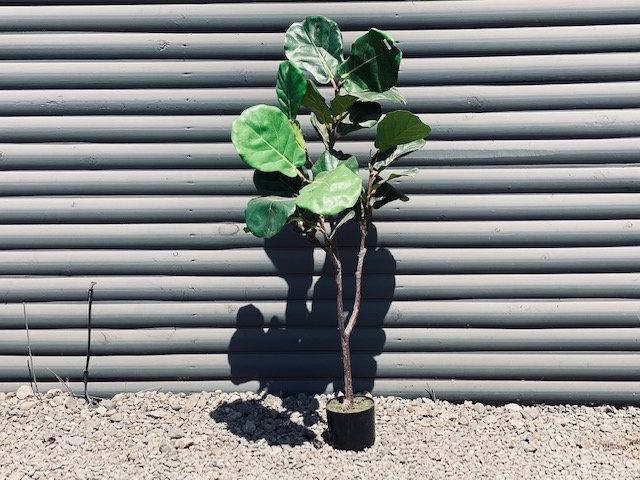 Árbo Ficus Lyrata