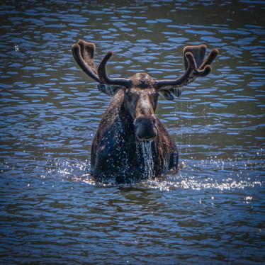 Dripping Moose-1-2.jpg