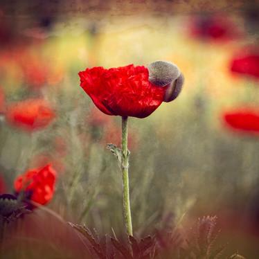 Virgin Poppy-1.jpg