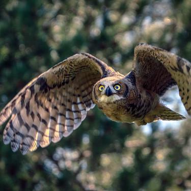 Focused Owl in Flight-1.jpg
