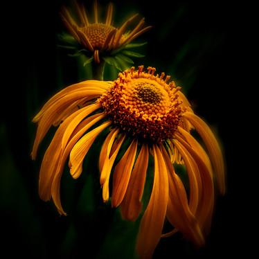 Blacket Flower Dream.jpg
