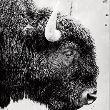 Bison Profile in BW.jpg