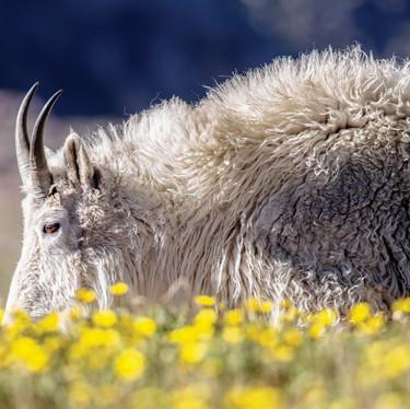 Buttercup Goat.jpg