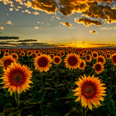 Colorado Sunflowers Sunset final v2-Edit.jpg
