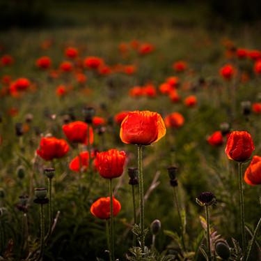 Poppy Field of Dreams-1.jpg