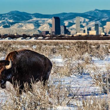 Denver Bison large-1.jpg