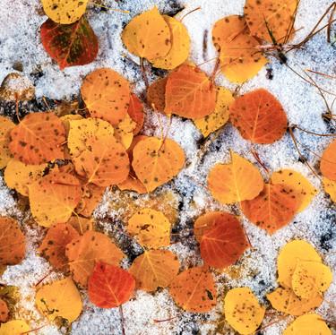 Aspen Leaves on Snow v2.jpg