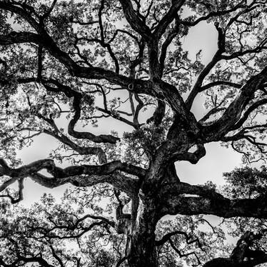 Founders tree.jpg