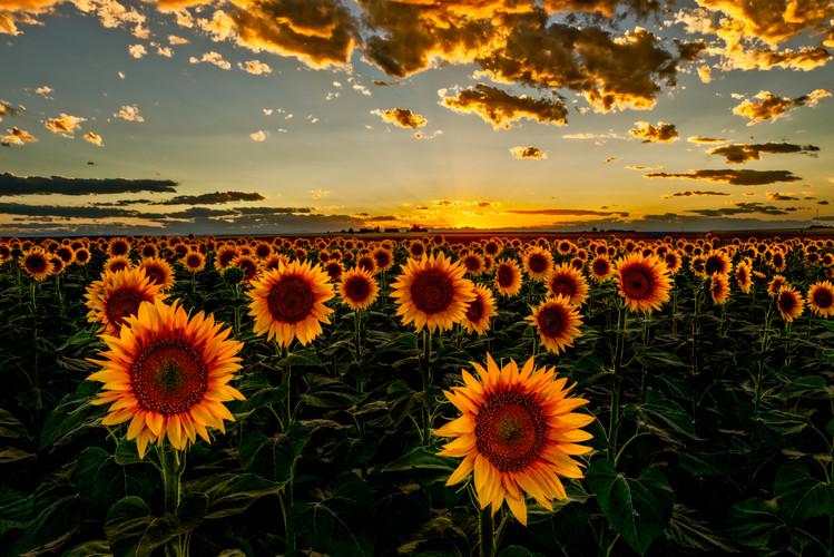 Colorado Sunflowers Sunset final v2.jpg