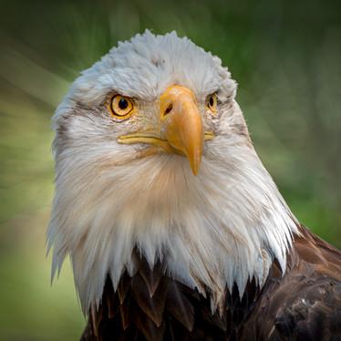 Eagle Eyes.jpg