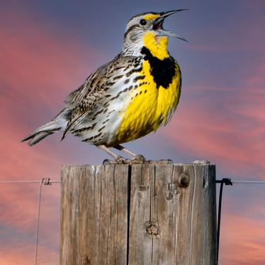Meadowlark Song-1-Edit.jpg