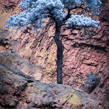 Frosty Pine 2.jpg