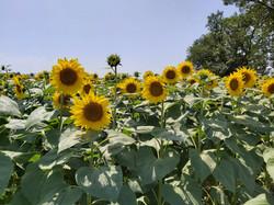 Super sunflowers