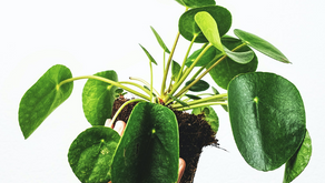 4 Signs You Are Overwatering Your Pilea