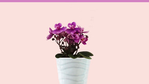 How to Keep Your Mini African Violet Blooming