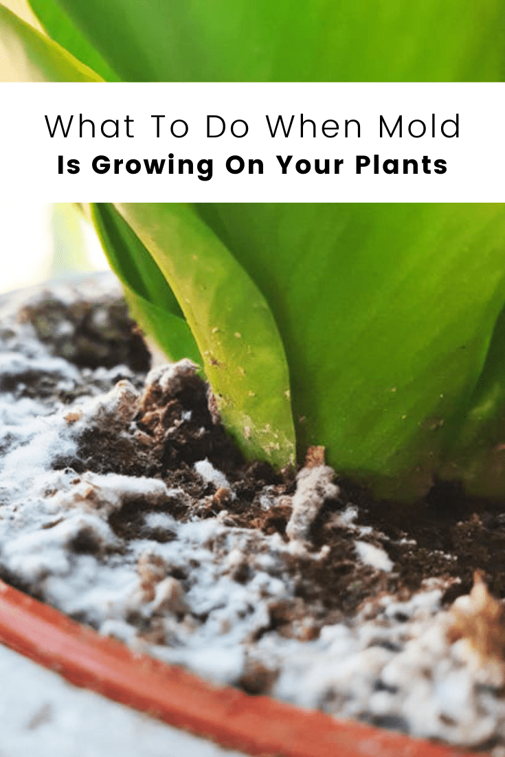 What to Do if Mold is Growing on the Soil of Your Plants?