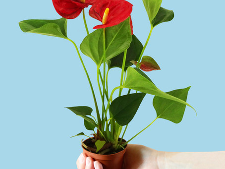 Fixing Brown Spots on Your Anthurium