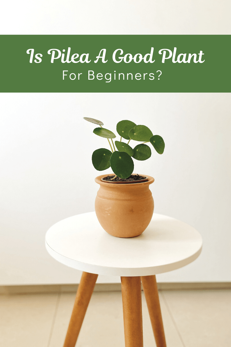 why is my pilea not growing