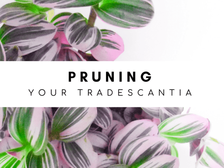 Pruning: How to Care for Your Tradescantia Bubblegum