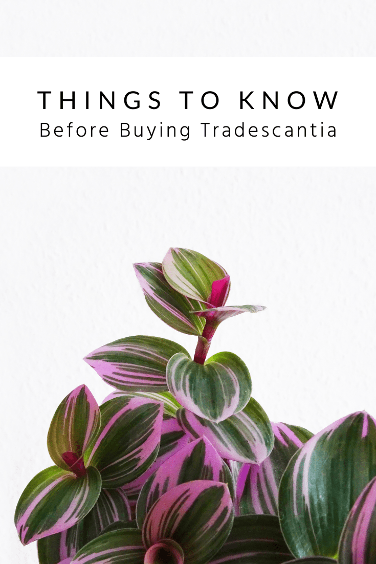 Things to Know Before Buying a Tradescantia
