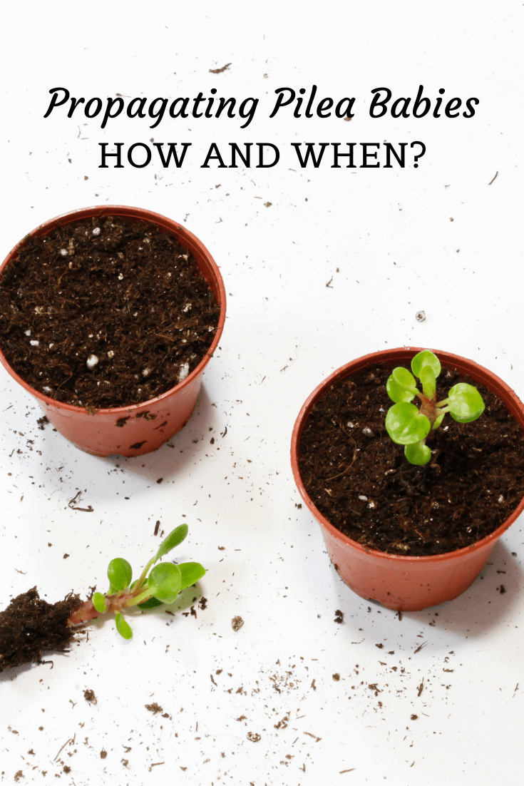 Propagating Pilea Babies Into Soil: How And When