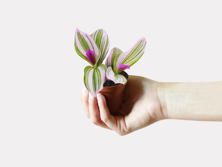 Successfully Repotting Your Tradescantia